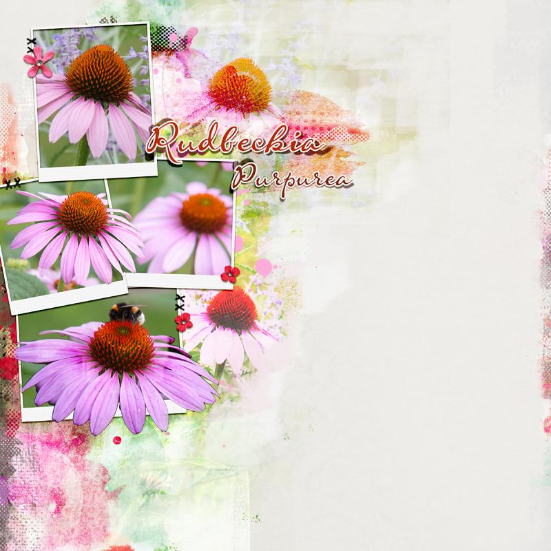 Rudbeckia Purpurea